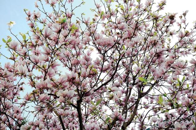 Spring blossoms.