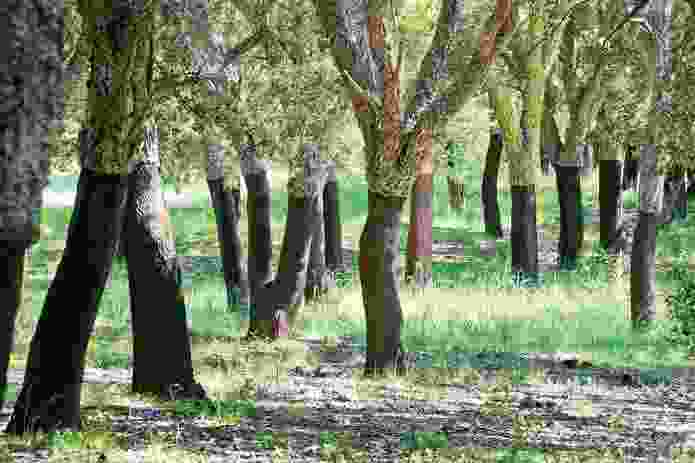 The eighty-year-old cork oak forest.