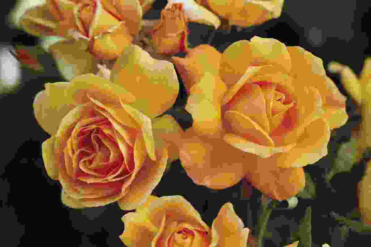 Slim Dusty roses on show at the Melbourne International Flower and Garden Show.