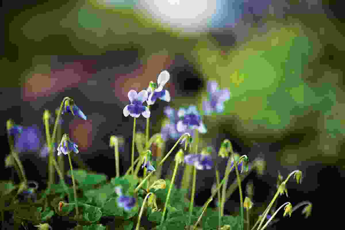 Wildflowers such as native Viola hederacea add colour to the paved garden.