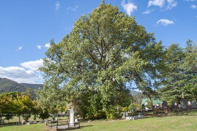 Himalayan Oak at Bright Cemetery