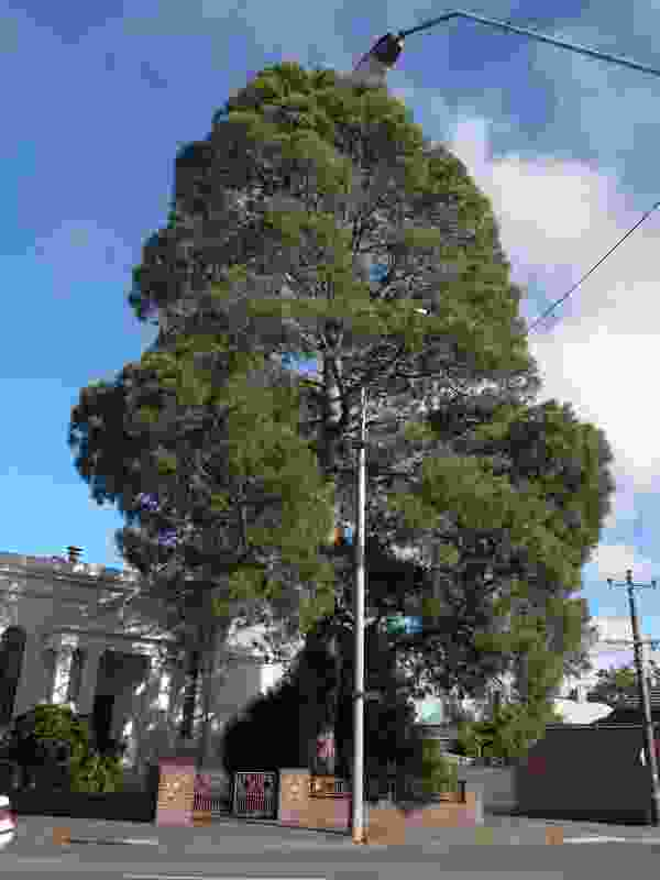 Canary Island pine, Ballarat Synagogue