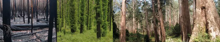 The ideal time interval between fire disturbances to provide food and shelter to yellow-bellied gliders in mountain ash forest is more than 120 years, to allow new trees to grow after burning kills old trees. Photos show progression from newly burnt to old growth forest.